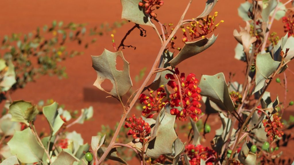 Holly grevillia. Karijini
