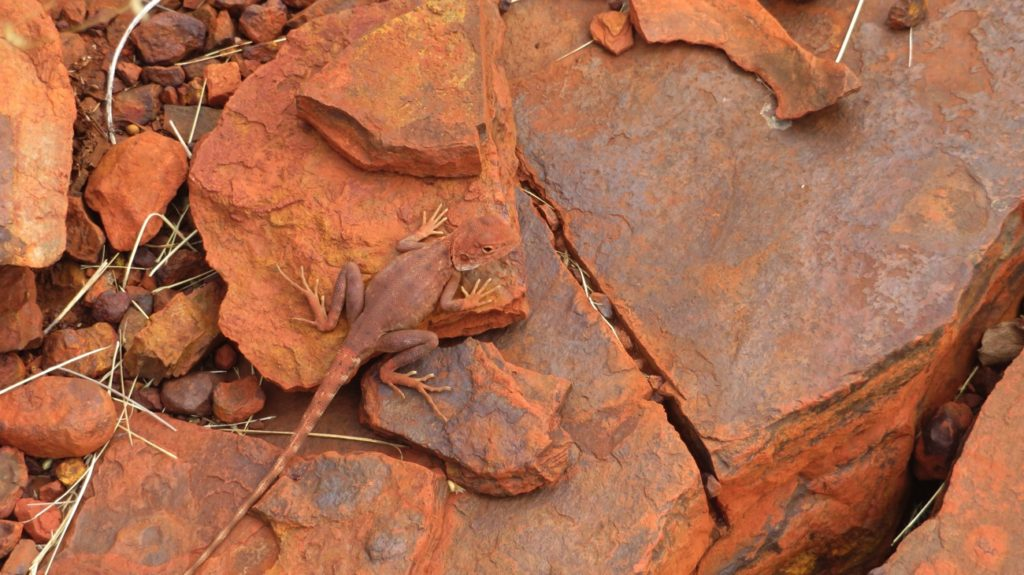 Spot the lizard. How's that for good camouflage?