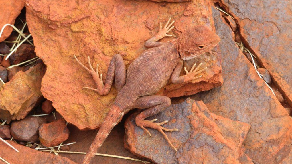 A lizard, Karijini NP