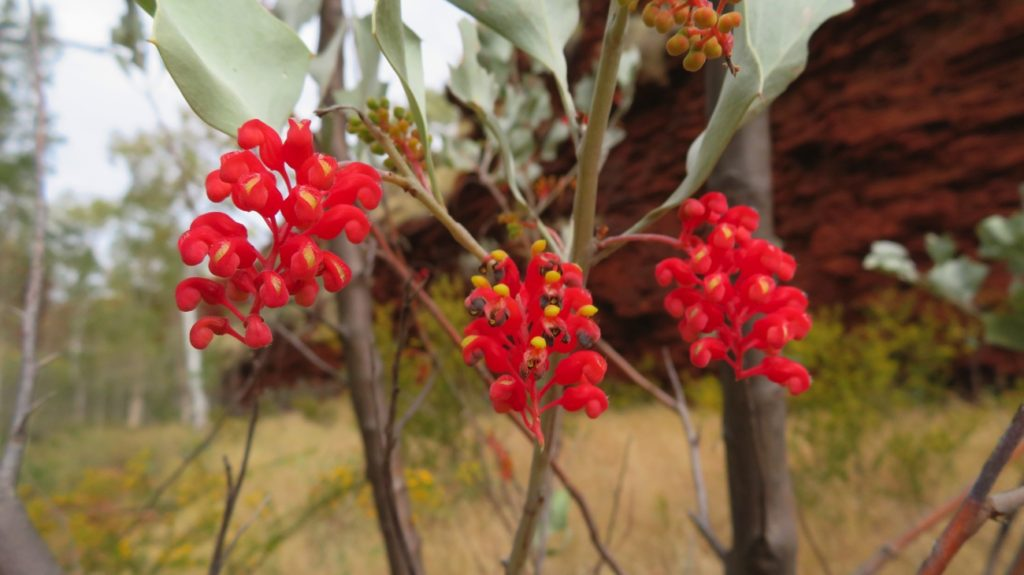 Holly grevillia, Karijini.