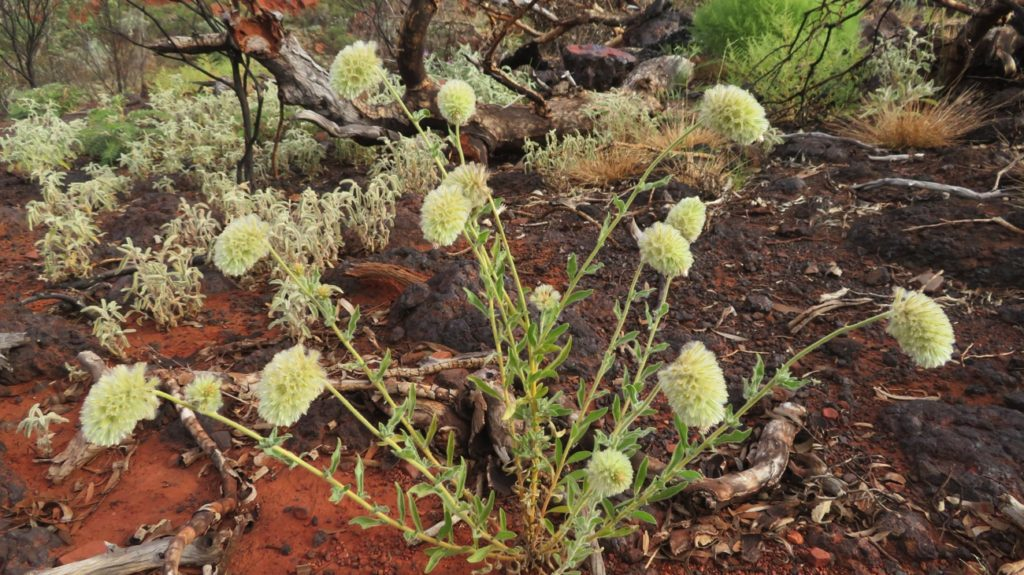Wildflowers, Karijini