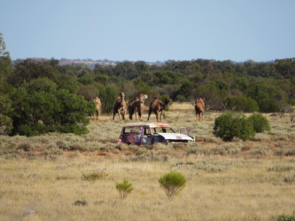 Camels and a car wreck.