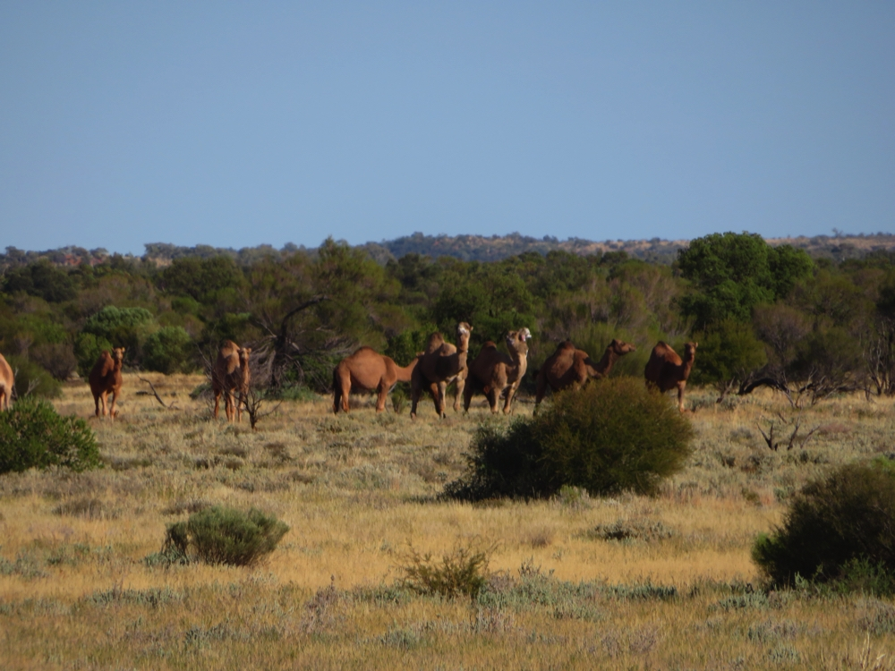 A herd of feral camels.