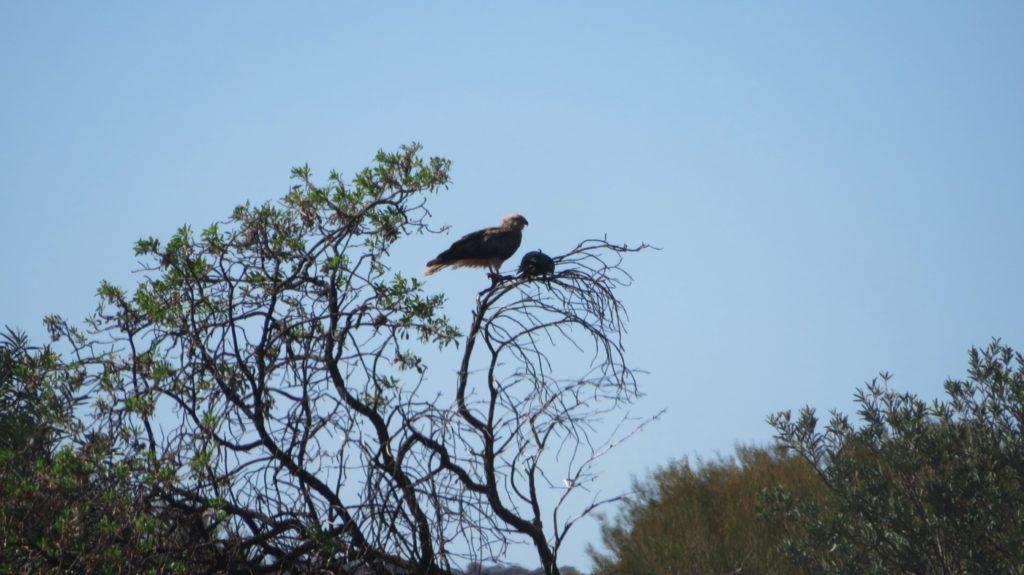 Predatory birdlife flourishes along the roads - plenty of roadkill for all.