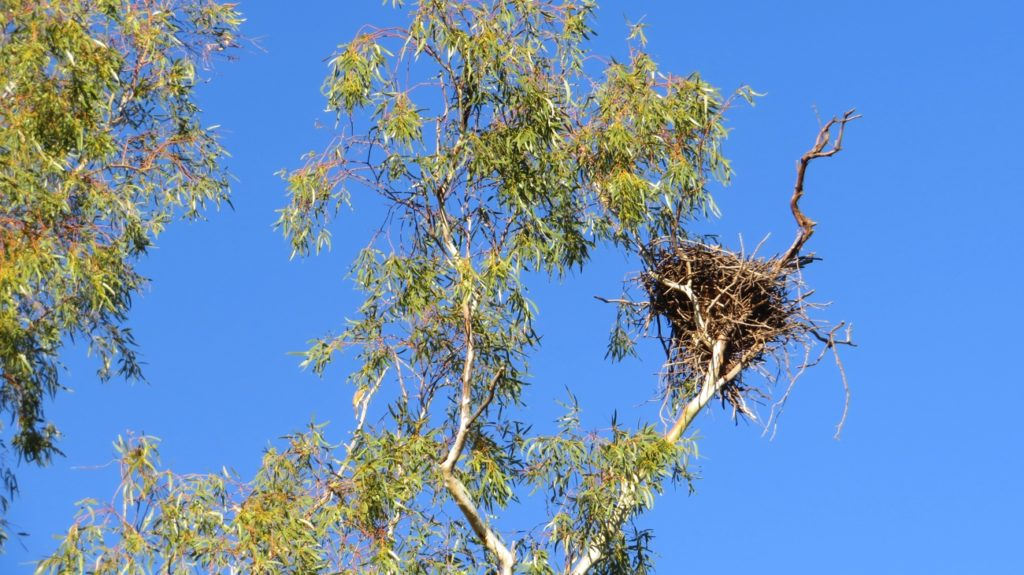 The nest of an Australian Hobby - a raptor.