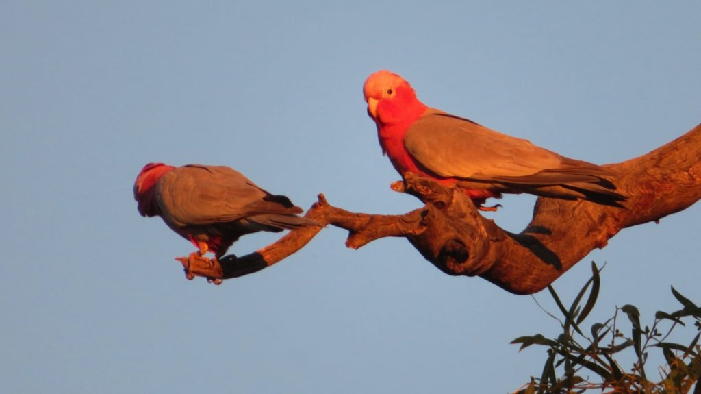 Pink galahs, at sunset. Gascoyne River
