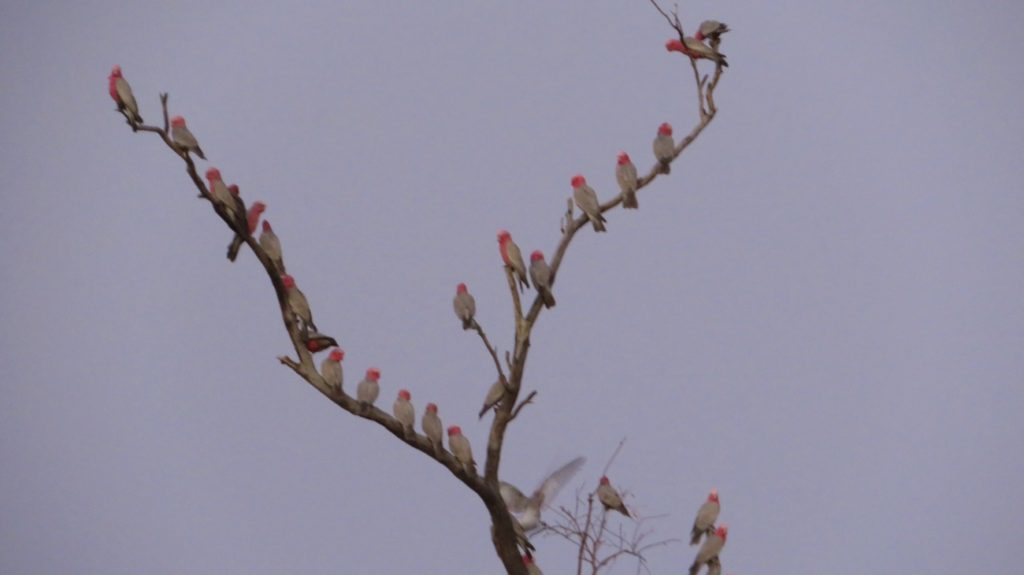 A meeting of pink galahs. At Gascoyne River.