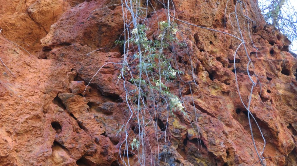 Wildflowers grow just anywhere. This one is a creeper coming over the sides of the gorge. Dales Gorge.