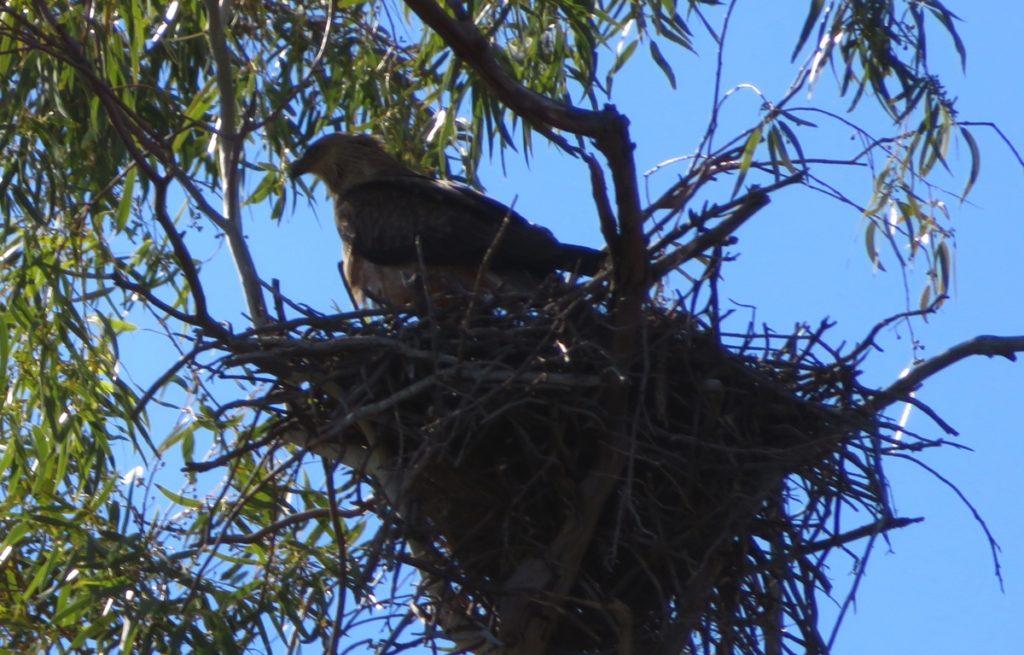 Australian hobby on its nest.