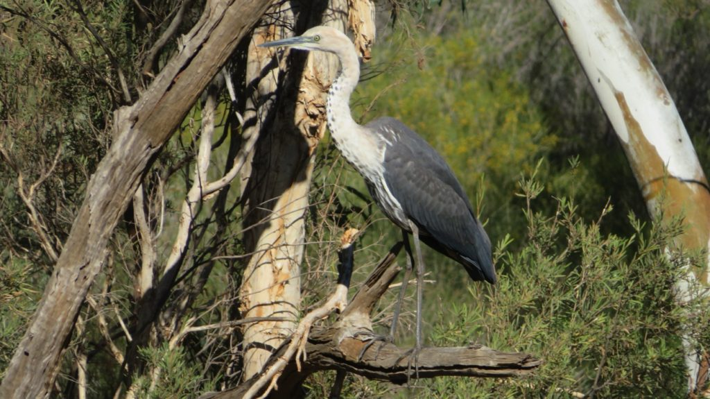 """And this is me from the other side."" A white necked heron poses for us on the Gascoyne River."